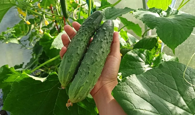 Найкращі підживлення огірків в червні-липні для рясного врожаю і великих плодів