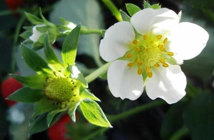 Кращі добрива для Полуниці під час і після цвітіння