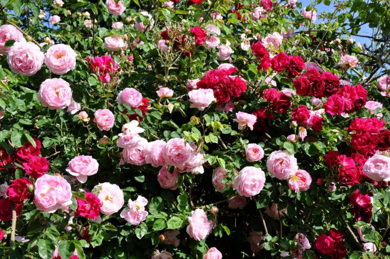 Троянди цвітуть все літо, якщо годувати цим бюджетним підживленням для троянд