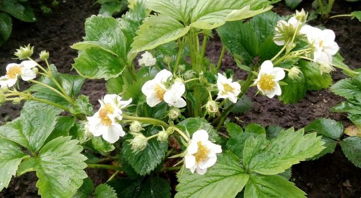 Годую полуницю молоком: цвіте суцільним килимом, а ягід в 1,5-2 рази більше