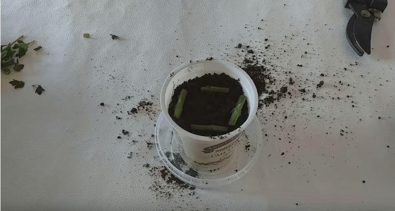Як вкорінити хризантему з букета. Простий і працюючий метод