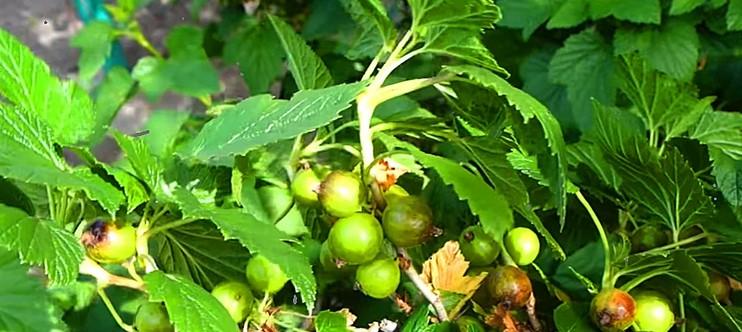 У мого сусіда смородина розміром з виноград. Ділюся підживленням, яке він застосовує вже 30 років