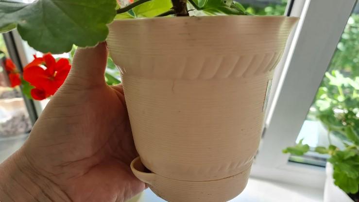 Як краще вкорінювати живці герані (пеларгонії), в ґрунті або воді