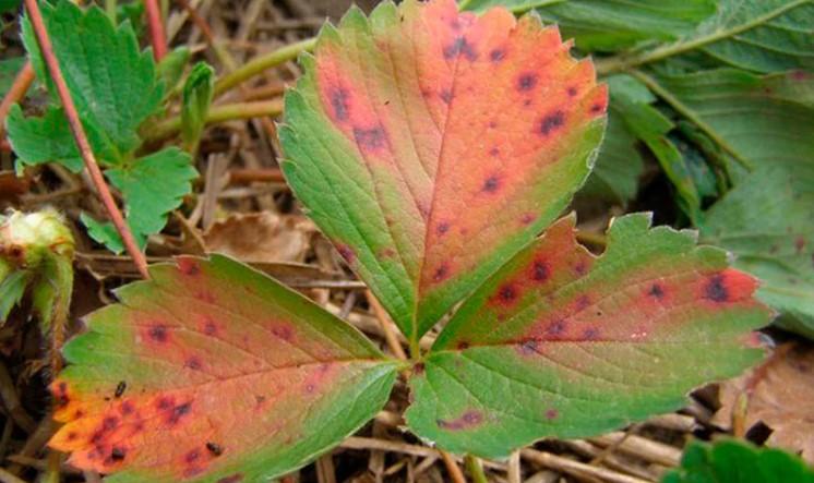 Плями на листках полуниці: чи вони небезпечні і як з ними боротися?