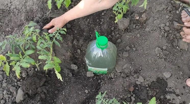 5-літрова пляшка з водою в грядці: навіщо так роблять досвідчені дачники і які помилки допускають новачки