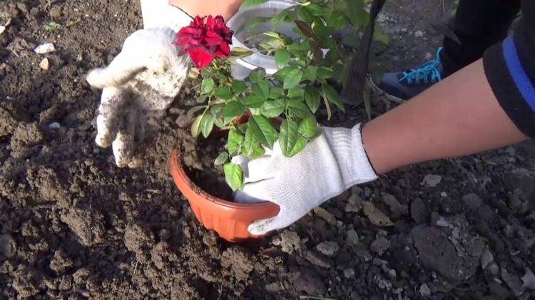Догляд за кімнатною трояндою: як виростити примхливу красуню