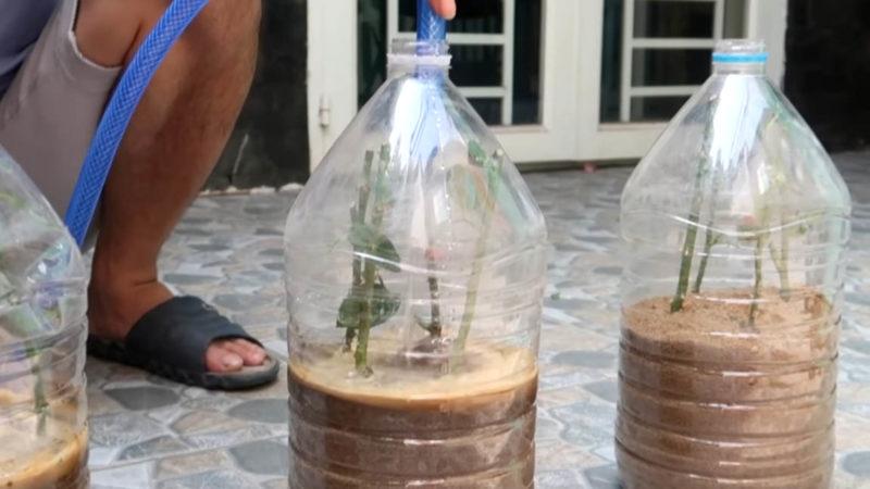 Ефективне укорінення троянди: насипте пісок в пляшку