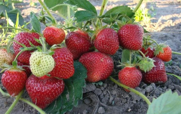 Чим підживити полуницю під час плодоношення для отримання м'ясистих і солодких ягід?