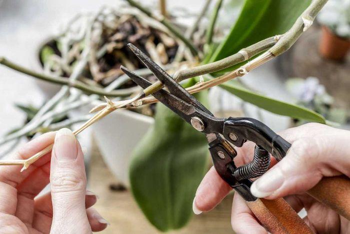 Орхідея відцвіла: як правильно зрізати квітконос
