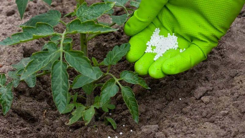 Важливо! Чим полити помідори в липні, щоб збільшити урожай