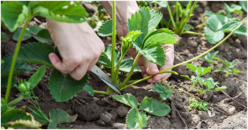 Для багатого врожаю полуниці на майбутній рік, правильно доглядайте за кущами після плодоношення