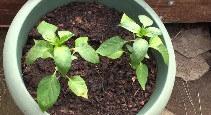 Вирощування перцю чилі в горщику. Збираємо перший урожай