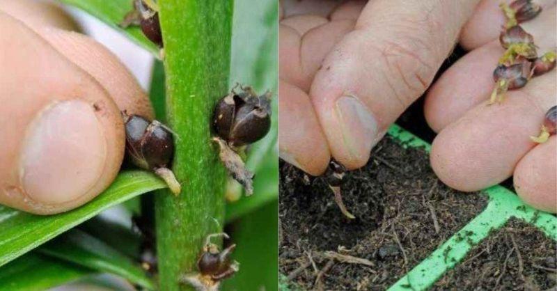 Як правильно пересаджувати і розмножувати лілії