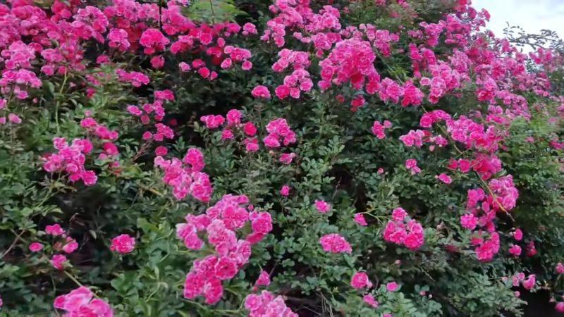 Літнє укорінення троянд, яке гарантує 100% результат