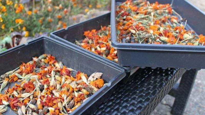Чим корисні чорнобривці для городу після цвітіння