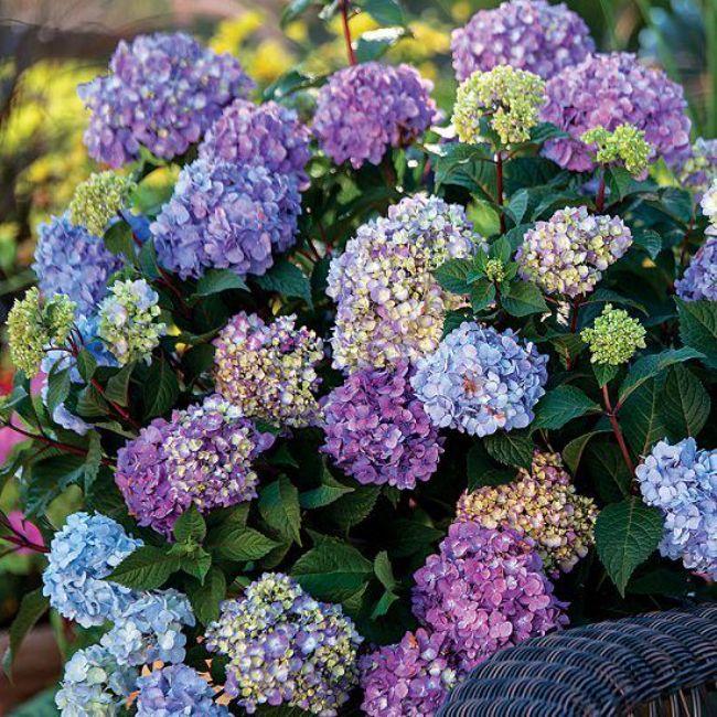Правильне обрізання гортензій - секрет успішного цвітіння на майбутній рік