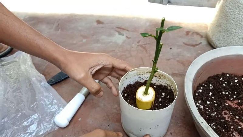 Вкорінення саджанців в банані: проста інструкція