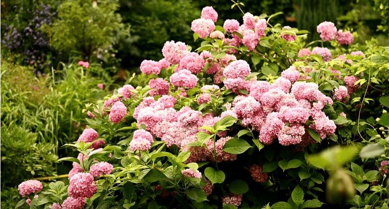 Правильний догляд за великолистою гортензією, щоб вона рясно цвіла