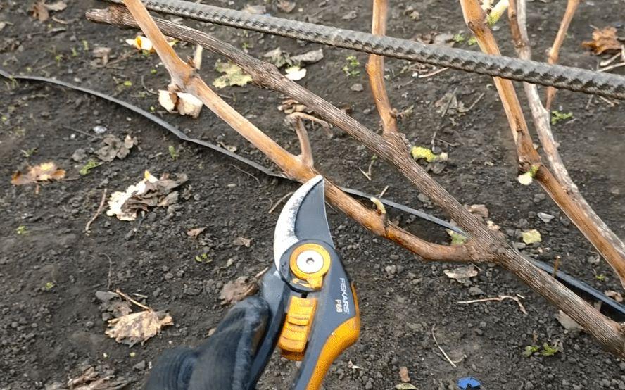 З таким обрізанням винограду урожай гарантований навіть новачкам