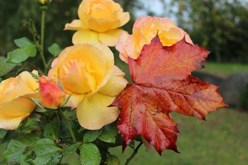 Щоб троянди не померзли взимку, їм необхідний правильний осінній догляд