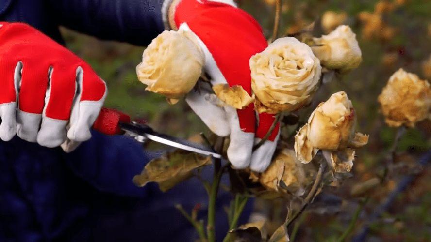 Обрізка і укриття троянд на зиму: просто про те, що здавалося складним