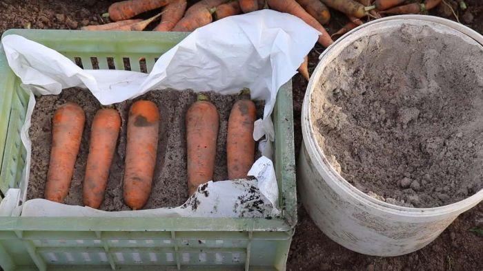Як найкраще збирати і зберігати моркву, щоб не в'яла і не пліснявіла